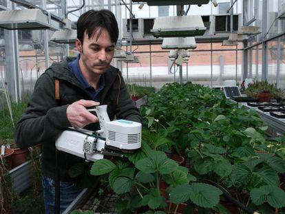 Enrique Mateos trabaja con fresas en el invernadero de la Facultad de Biología de la U. S.