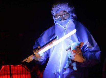 Un científico somete a pruebas a un cerdo de color verde fluorescente fruto de la ingeniería genética china, en una imagen del 11 de enero.