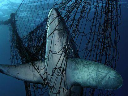 Un tiburón atrapado en una red de pesca.