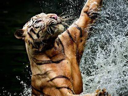 Un tigre intenta cazar en Ragunan (Indonesia).
