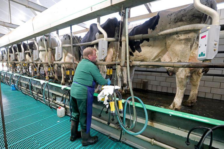 Un ganadero alemán ordeña las vacas de su granja.