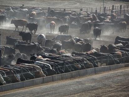 Macrogranja de vacas en California, el pasado mes de mayo.