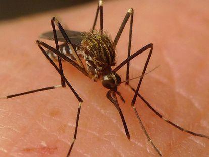 Ejemplar de mosquito aedes japonicus.