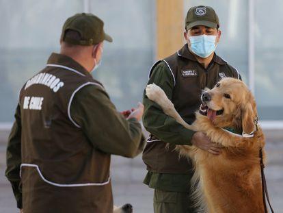 Funcionarios de entrenamiento canino de los Carabineros de Santiago (Chile) adiestran perros para detectar el Covid-19. Gracias a su olfato pueden ser útiles en el rastreo del coronavirus, como lo son con la detección de armas o drogas.