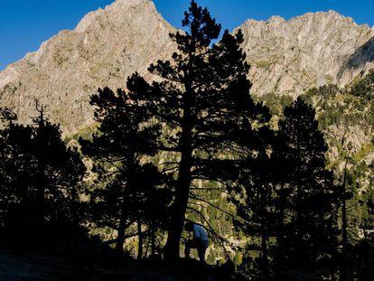 Trabajo de dendrocronología (ciencia que se ocupa de la datación de los anillos de crecimiento) en un pino negro de Aigüestortes.