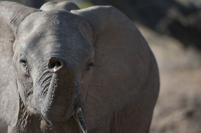 Un elefante en el parque nacional de Luangwa sur, en el este de Zambia.