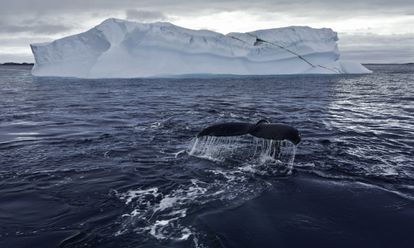 Una ballena jorobada en una imagen del documental 'Los secretos de las ballenas'.