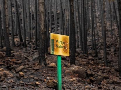 Zona de pinos quemados en el Puerto de lasPeñas Blancas (Jubrique), tras el incendio de Sierra Bermeja.