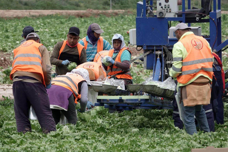 Trabajadores recogiendo la cosecha en un campo de Murcia, sin ningún tipo de protección sanitaria contra el coronavirus y sin guardar la distancia de seguridad.
