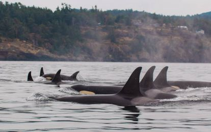 Familia de orcas sedentarias de la costa oeste de EE UU incluidas en el estudio.
