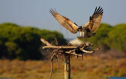 Ejemplar de águila pescadora en Andalucía.