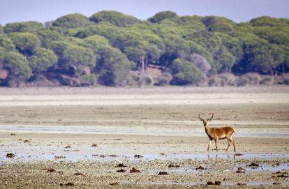 Un ciervo pasea por el Parque Nacional de Doñana (Huelva)