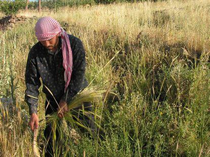 Aún hoy se cosecha la cebada silvestre en el sur de Siria.
