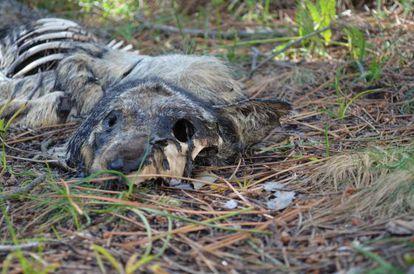 Restos de un lobo muerto de forma violenta en Boiro, del que el colectivo ecologista Vox Anima avisó al Seprona el 27 de abril.