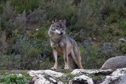 Un lobo en Asturias.