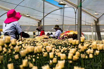 Invernadero en Colombia con flores para la exportación.