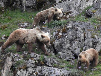 Tras las huellas del oso pardo