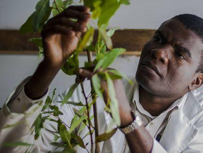 Un fisiólogo de semillas estudia un eucalipto en Zimbabue.