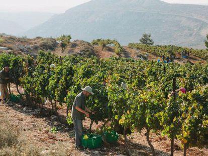 Uno de los viñedos que suministran uvas a la bodega de Psagot.