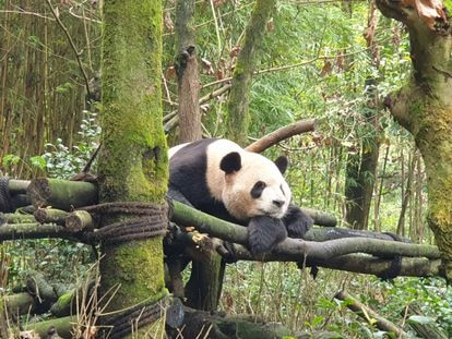 El oso panda DeDe, nacido en el Zoo de Madrid, reposa sobre una plataforma en su recinto del Valle de los Pandas, en la localidad de Dujiangyan (centro de China)