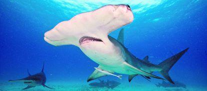 Tiburón martillo gigante.