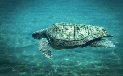 Una de las tortugas boba del Oceanogràfic de Valencia.