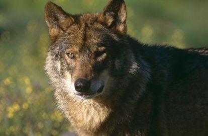Un ejemplar de lobo ibérico.