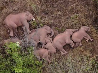 """This image made from video taken released by China Central Television (CCTV) on June 7, 2021 shows elephants, part of a herd which had wandered 500 kilometres north from their natural habitat, resting in a forest near Kunming, in China's southwest Yunnan province. (Photo by - / CCTV / AFP) / China OUT / RESTRICTED TO EDITORIAL USE - MANDATORY CREDIT """"AFP PHOTO / CHINA CENTRAL TELEVISION (CCTV) """" - NO MARKETING NO ADVERTISING CAMPAIGNS"""