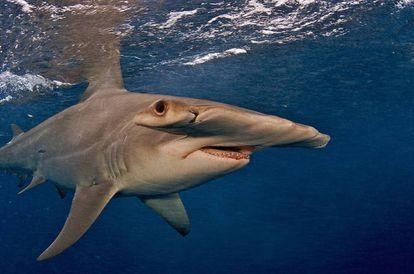 El tiburón martillo gigante se encuentra en peligro de extinción por el gusto oriental por la sopa de tiburón.