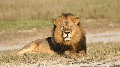 El león Cecil, cazado en julio por un dentista estadounidense en Zimbabue en una foto de archivo.