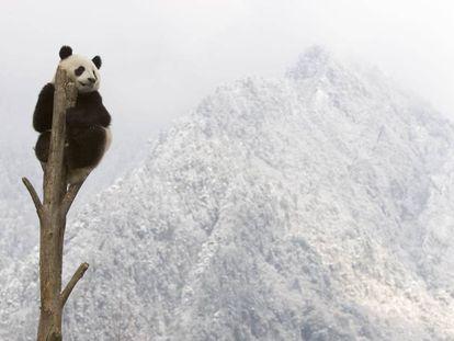 Un oso panda encaramado a un árbol en las montañas de Sichuan, en China.