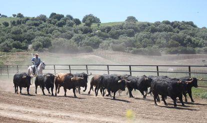 Toros de la ganadería de Fuente Ymbro, en la dehesa gaditana.