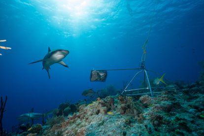 Fotografía de 2019 cedida por Andy Mann por vía del proyecto Global FinPrint donde se observan unos tiburones nadando en los arrecifes de Las Bahamas, en el Caribe.