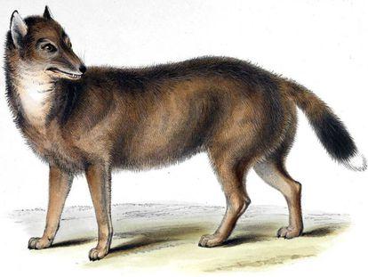 Ilustración de un lobo de las Malvinas de la obra 'Zoología del viaje del Beagle', de Charles Darwin.