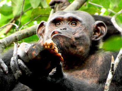 Nuevos descubrimientos amplían la dieta de estos simios y la novedosa tecnología usada para alimentarse aporta pistas sobre la evolución humana