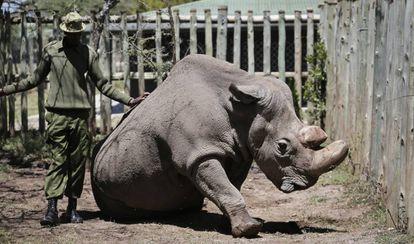 Sudán, el último rinoceronte blanco del norte que queda en el mundo, en una foto el pasado mayo con un guardia en la reserva natural keniana de Ol Pejeta.