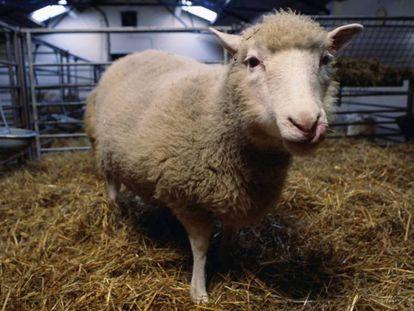 La oveja Dolly.