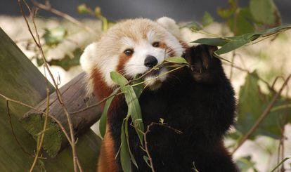 La panda roja 'Sunny', antes de su fuga, en el zoo de Virginia.