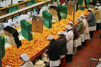 Mandarinas siendo seleccionadas y envasadas en una planta de Valencia.