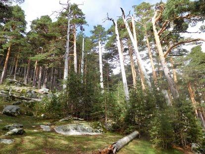 Un pinar de pino silvestre donde aparecen individuos adultos muertos que están siendo reemplazados por un elevado número de individuos jóvenes.
