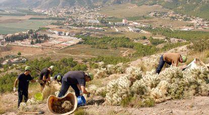 Eliminación de un cactus mexicano en la sierra de Orihuela.
