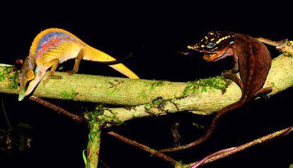 Ejemplares macho (izquierda) y hembra (derecha) de la especie 'Calumma uetzi'