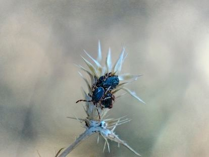 Grupo de garrapatas que transmiten el virus de Crimea-Congo, en el monte de El Pardo (Madrid).