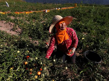 Una mujer trabaja en su huerta de tomates, en Tailandia.