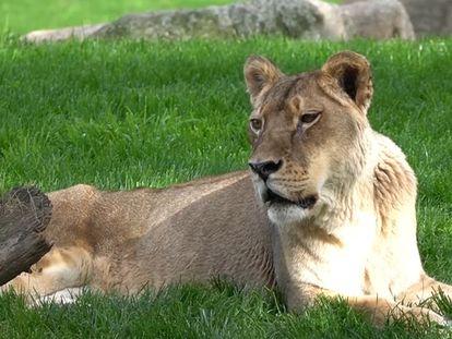 La leona Fa en el zoo Bioparc de Valencia
