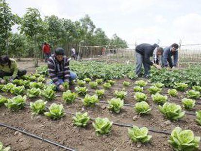 Un grupo de jornaleros cultiva el huerto en la finca de Somontes (Palma del Río, Córdoba).