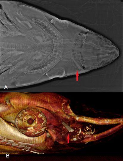 Arriba, radiografía de un ejemplar encontrado en Vera (Almería). Abajo, vista lateral de la herida mediante tomografía computarizada. La flecha roja señala la punta de la espada del pez espada.
