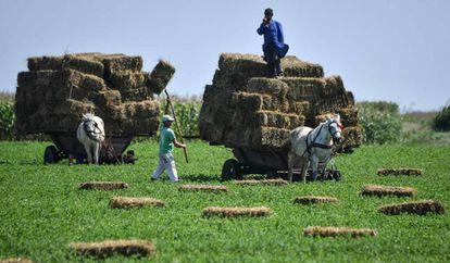Unos granjeros utilizan carros tirados por caballos para recoger las balas de paja en Smardan, al sur de Rumanía, el 3 de agosto de 2018.