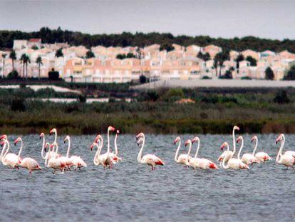 Flamencos en las lagunas del parque natural de Las Salinas de Torrevieja.