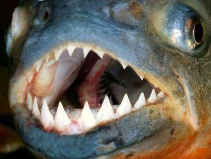 Con sus dientes, las pirañas pueden despedazar a un humano en apenas unos minutos, pero seguramente no lo harán